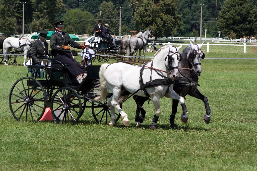 Starokladrubští koně i při soutěžích spřežení ukazují své impozatní chody a důstojnost.
